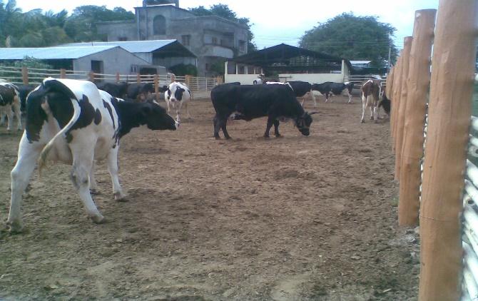 cow-jpg