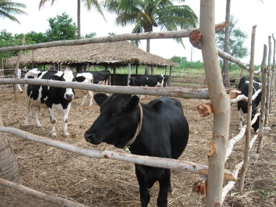 क्या आप जाणते है के गाय को बांधणा एक क्रूरता है!!!!!