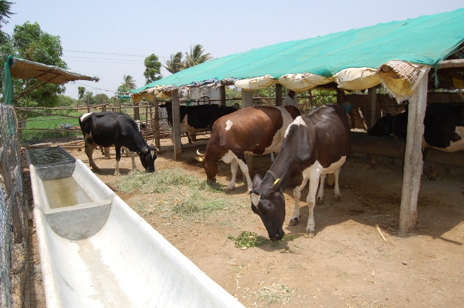 cow-shed-pic