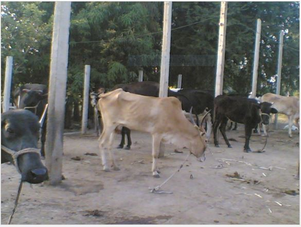 Tying or Tethering Animal Is a Cruelty Unknowingly Inflicted on Cows