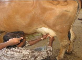 Effect of Presence of Calf While Milking in Zebu and Exotic CrossbredsCows